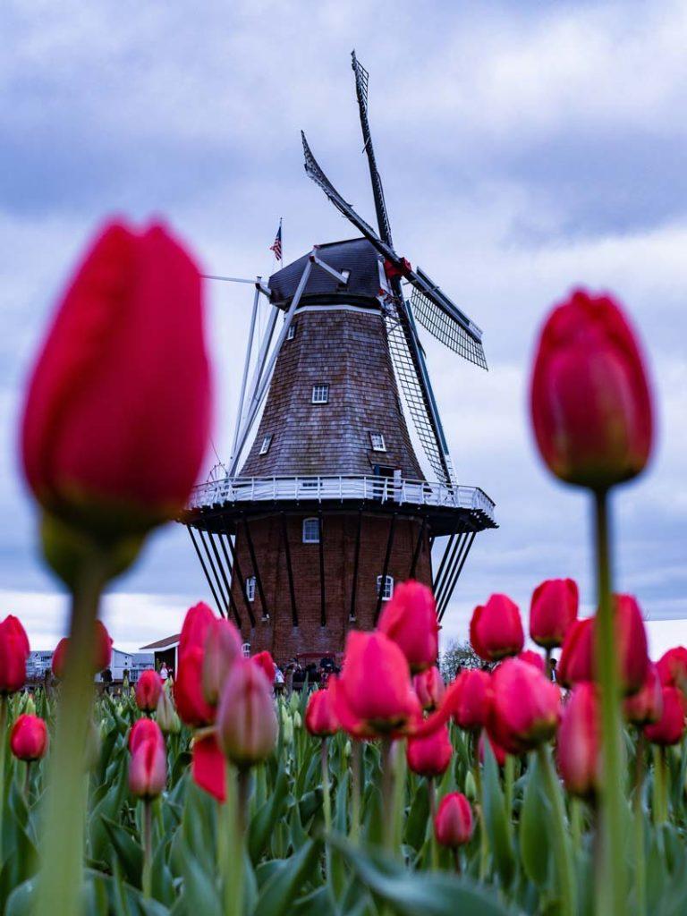 moinhos-e-tulipas
